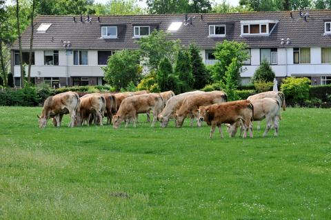 koeien die grazen op een deel van de geniedijk in de wijk Pax. Woningen op achtergrond zijn die van de Gandhistraat (foto: Kees van der Veer)