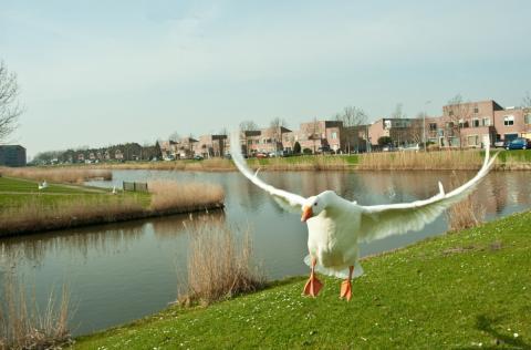 Huisgans in de aanval of aan het landen in Toolenburg met op achtergrond woningen van Haya van Somerensingel. (foto: Danny de Casembroot)